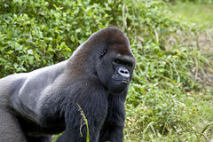 Gorila Foto de archivo libre de regalías