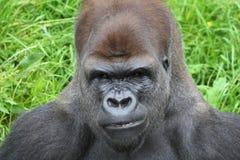 Gorila Fotografía de archivo libre de regalías