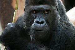 Gorila Fotos de archivo libres de regalías