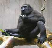 Gorila 4 foto de archivo libre de regalías