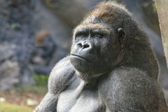 Gorila Imagens de Stock Royalty Free
