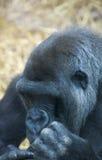 Gorila 5 Imagem de Stock