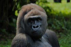 Gorila Imágenes de archivo libres de regalías