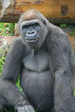 Gorila. Imagens de Stock