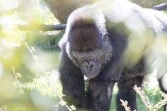 Gorila Imagen de archivo libre de regalías