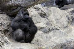 大gorila 库存照片