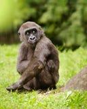 Gorila adolescente joven Fotos de archivo libres de regalías
