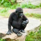 Gorila bonito do bebê fotografia de stock royalty free