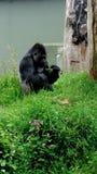 Gorila com um petisco de bambu fotos de stock royalty free