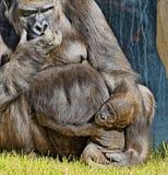 Gorila con el bebé fotos de archivo