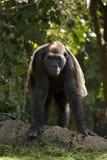 Gorila con una manta Imagen de archivo libre de regalías