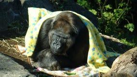 Gorila cubierto en manta amarilla imagen de archivo libre de regalías