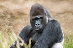 Gorila da planície fotografia de stock