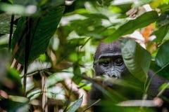 Gorila da planície na selva Congo Retrato de um fim do gorila de planície ocidental (gorila do gorila do gorila) acima em uma dis Fotos de Stock Royalty Free