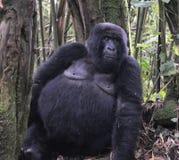 Gorila de Alpha Female en la selva de Rwanda Foto de archivo libre de regalías