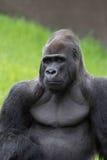 Gorila de Congo do Silverback Fotos de Stock Royalty Free