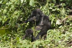 Gorila de la madre y del bebé fotografía de archivo
