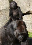 Gorila de la madre y del bebé (gorila de tierra baja occidental) Foto de archivo libre de regalías