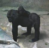 Gorila de la mamá con un bebé Imagen de archivo libre de regalías