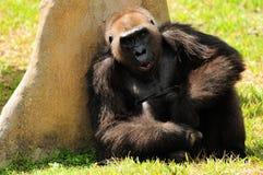 Gorila de la tierra baja Imagenes de archivo
