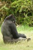Gorila de la tierra baja Imagen de archivo
