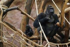 Gorila de la tierra baja, un varón y bebé Imagen de archivo