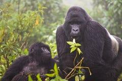 Gorila de montaña Imágenes de archivo libres de regalías
