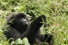 Gorila de montaña Fotografía de archivo libre de regalías