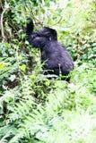 Gorila de montaña Fotos de archivo libres de regalías