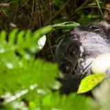Gorila de montaña Imagen de archivo