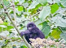 Gorila de montaña del bebé Fotografía de archivo