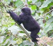 Gorila de montaña del bebé Fotografía de archivo libre de regalías