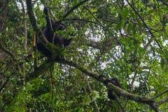 Gorila de montaña del bebé que lucha para colgar sobre rama de árbol mientras que la mamá parece indiferente fotos de archivo