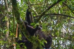 Gorila de montaña del bebé que parece lindo mientras que cuelga con la mamá en el parque nacional impenetrable de Bwindi fotos de archivo