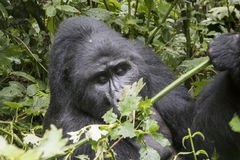 Gorila de montaña del Silverback, Bwindi Forest National impenetrable foto de archivo libre de regalías