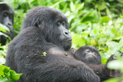 Gorila de montaña femenino Fotos de archivo