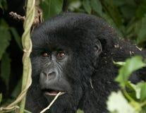 Gorila de montaña femenino imagenes de archivo