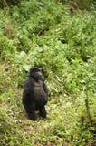 Gorila de montaña femenino adolescente Fotos de archivo libres de regalías