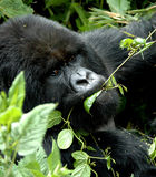 Gorila de montaña que desayuna imagen de archivo libre de regalías