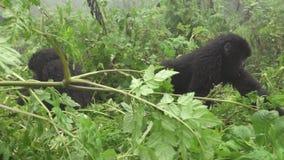 Gorila de montaña salvaje joven en el bosque metrajes