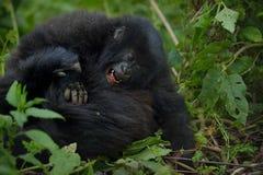 Gorila de montanha Imagem de Stock Royalty Free