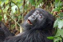 Gorila de montanha Imagens de Stock
