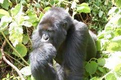 Gorila de montanha Foto de Stock Royalty Free