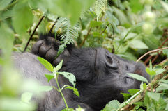 Gorila de montanha Fotos de Stock