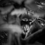 Gorila de montanha fotos de stock royalty free