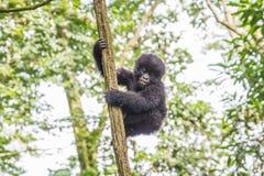 Gorila de montanha do bebê em uma árvore no parque nacional de Virunga imagem de stock