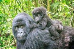 Gorila de montanha do bebê na parte de trás de sua mãe imagem de stock