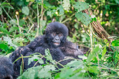Gorila de montanha do bebê que senta-se nas folhas imagem de stock