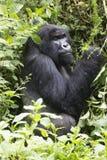 Gorila de montanha do Silverback Fotografia de Stock Royalty Free