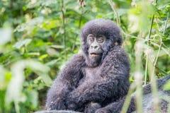 Gorila de montanha do Silverback do bebê no parque nacional de Virunga fotos de stock royalty free
